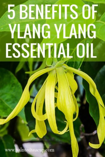 Ylang ylang essential oil has so many wonderful benefits including supporting women's wellness, promoting feelings of happiness & much more! #ylangylangessentialoil #ylangylang